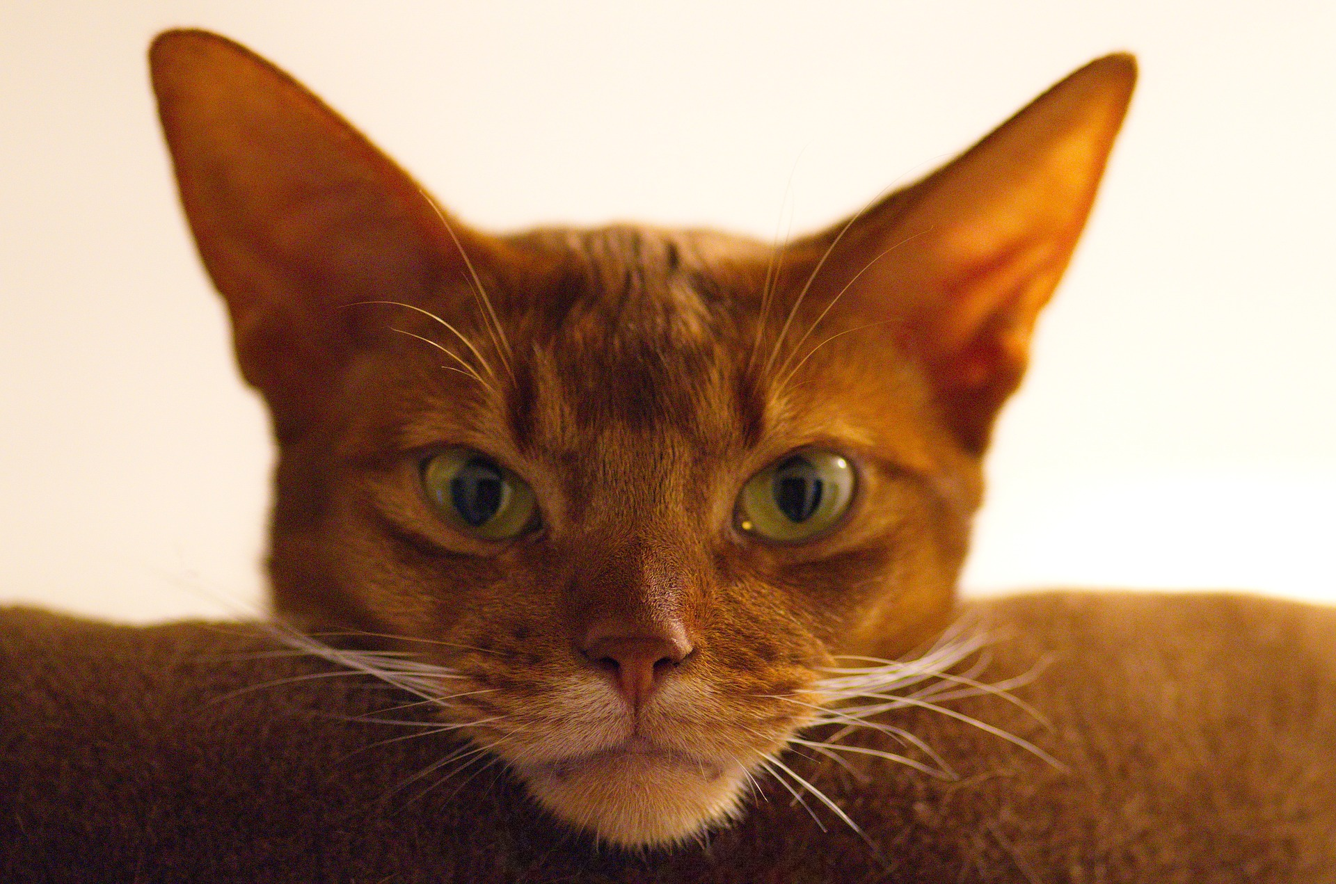 Best cat food for Abyssinians