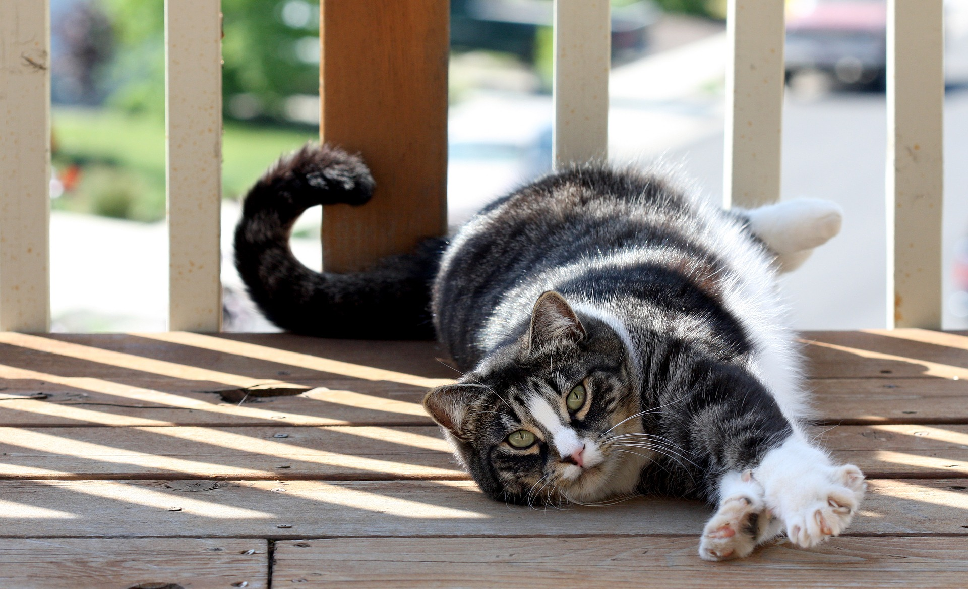 Best cat food for American Shorthair